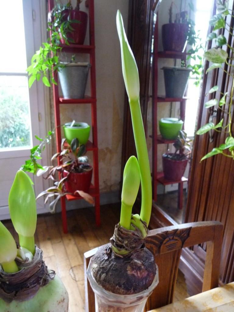 Bulbes forcés d'amaryllis cultivés en hydroponie