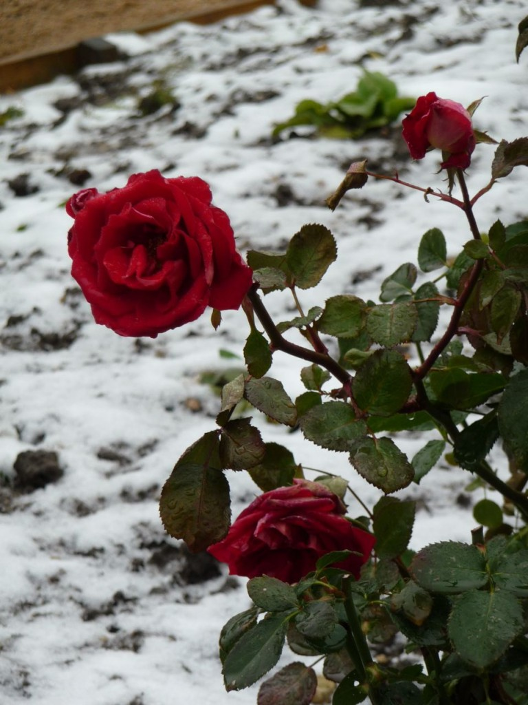 Rose en hiver dans un jardin parisien