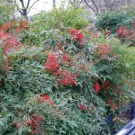 Arbuste persistant à fruits décoratifs