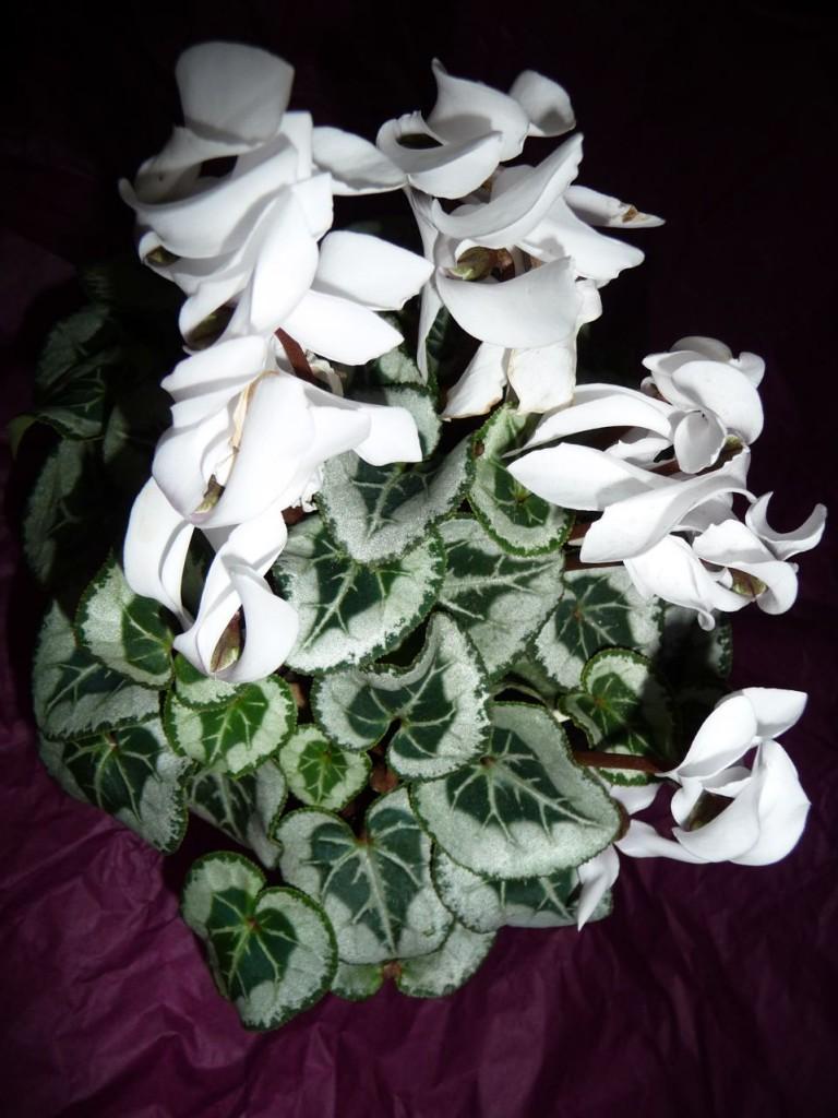 Plante fleurie à feuillage décoratif