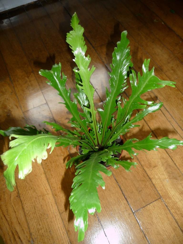 Asplenium nidus 'Fimbriatum', fouhère d'intérieur