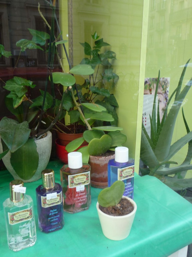 Plante succulente, plante grasse, Hoya kerrii