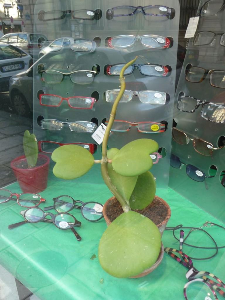 Plante succulente, plante porcelaine, Hoya kerrii
