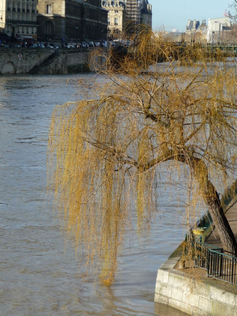 Saule au bord de la Seine en crue dans Paris