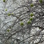 Oranger des osages, arbre à fruits décoratifs
