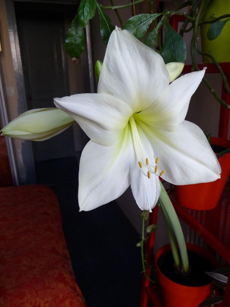Floraison d'un amaryllis forcé