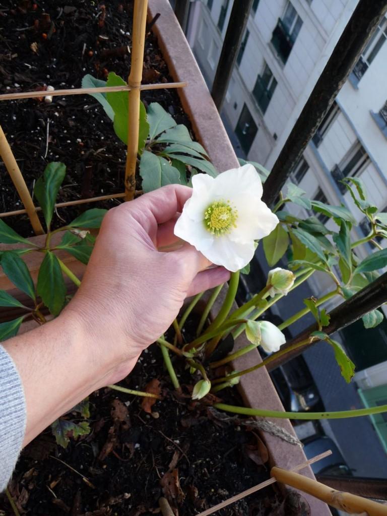 Helleborus niger 'Josef Lemper', floraison hivernale