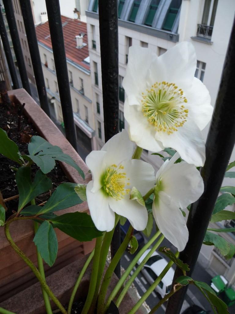 Plante vivace à floraison hivernale