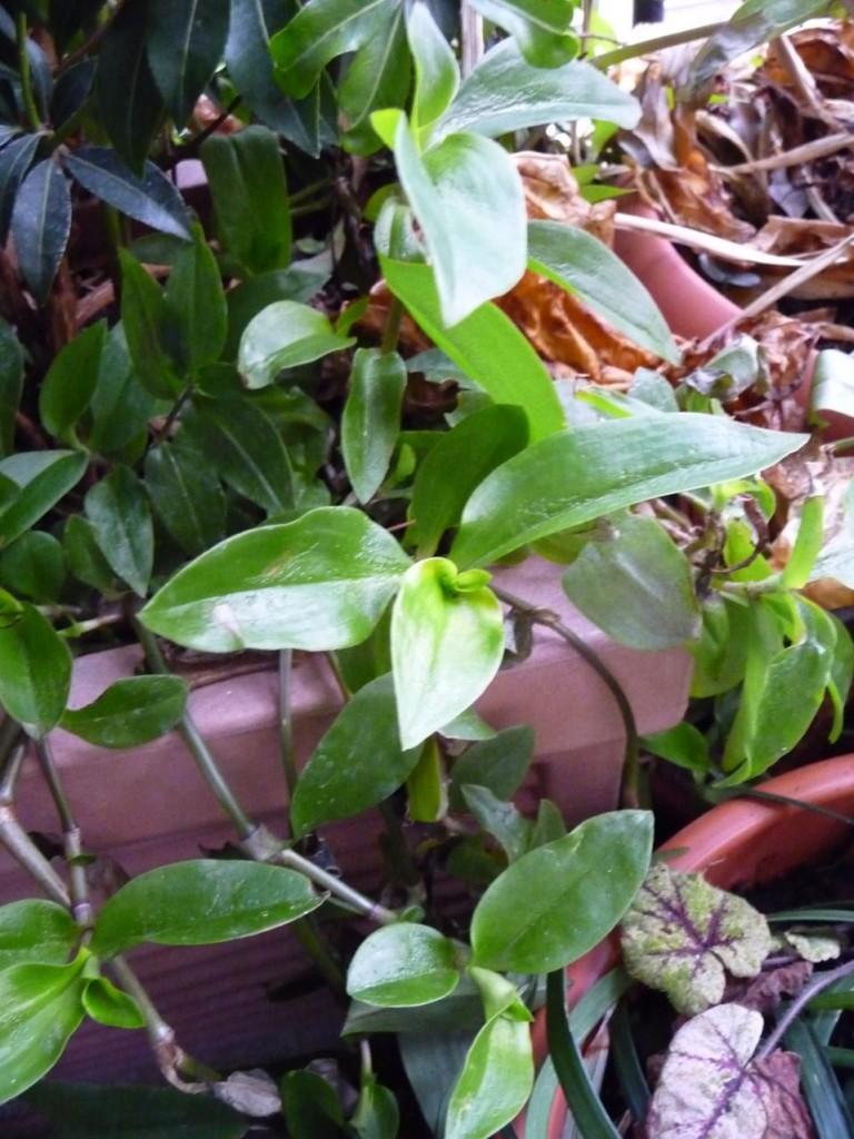 Plante exotique suffisamment rustique en jardinière sur balcon dans Paris