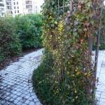 Tonnelle et plantes grimpantes, jasmin d'hiver et lierre