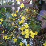 Plantes grimpantes sur tonnelle : jasmin d'hiver et lierre