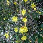Jasmin d'hiver (Jasminum nudiflorum) sur tonnelle