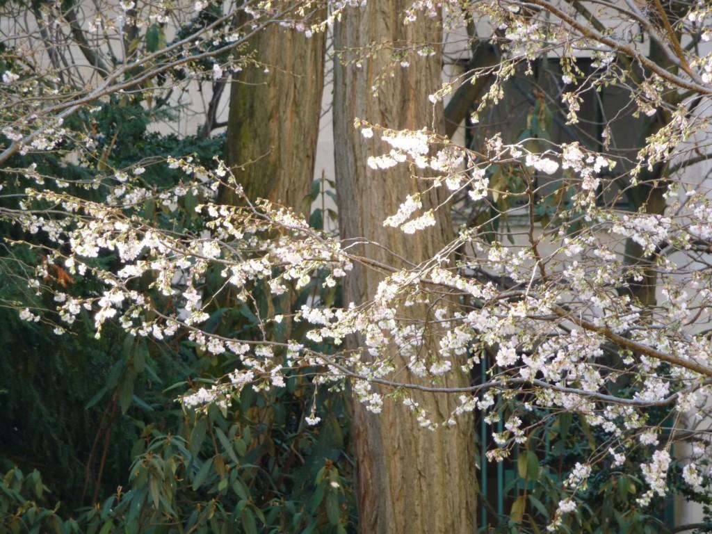 Prunus subhirtella 'Autumnalis', arbuste à floraison hivernale