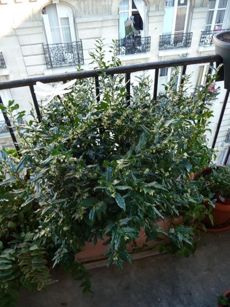 Arbuste persistant à floraison hivernale parfumée