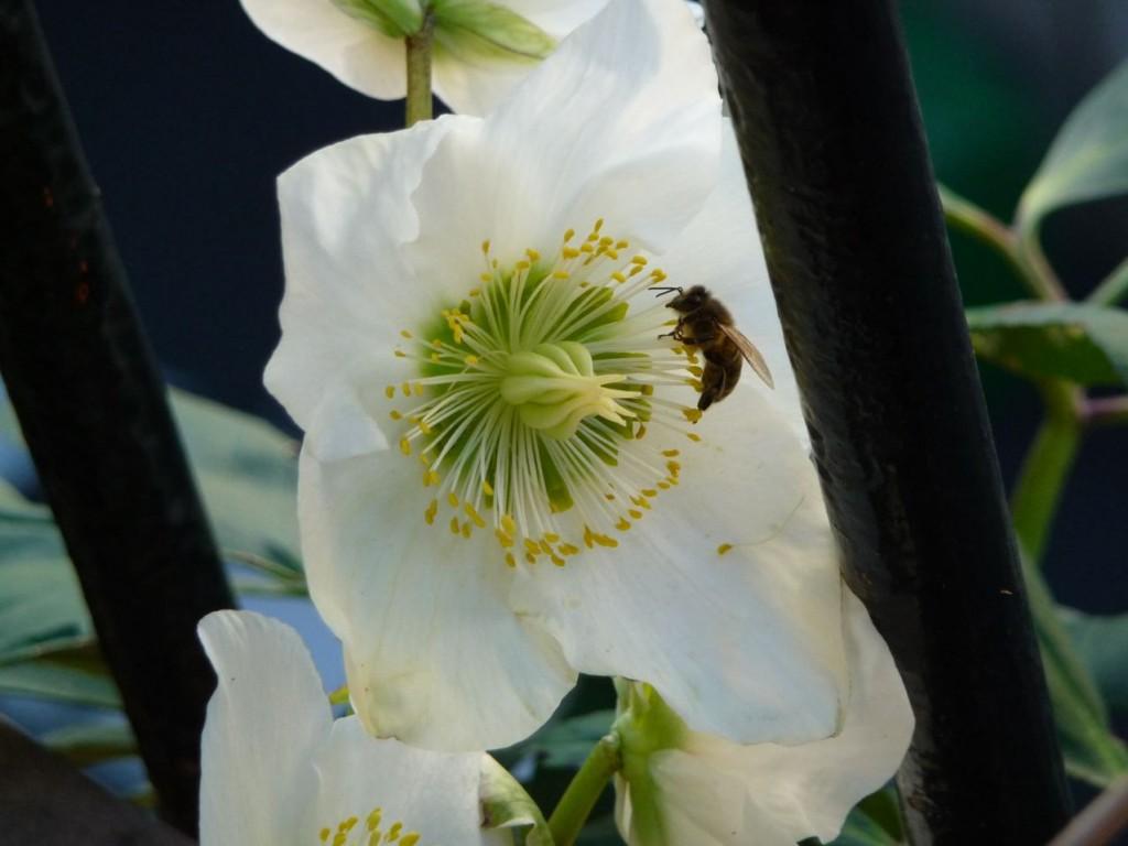 Insecte pollinisateur butinant en hiver dans Paris