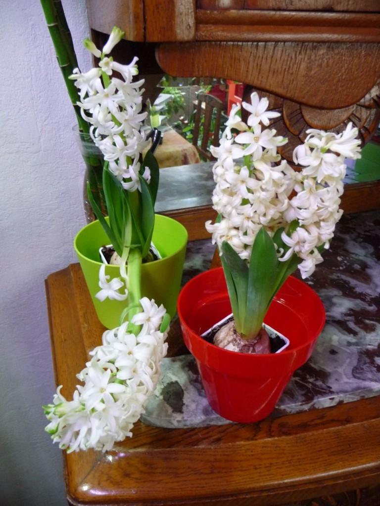 Bulbe forcé à floraison parfumée