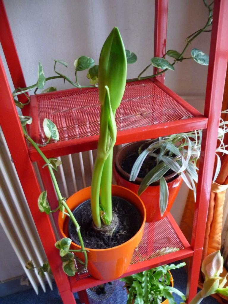 Bulbe à fleur forcé : amaryllis en pot