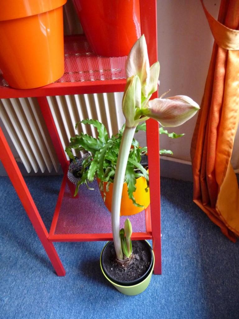 Bulbe à fleurs forcé : amaryllis en pot