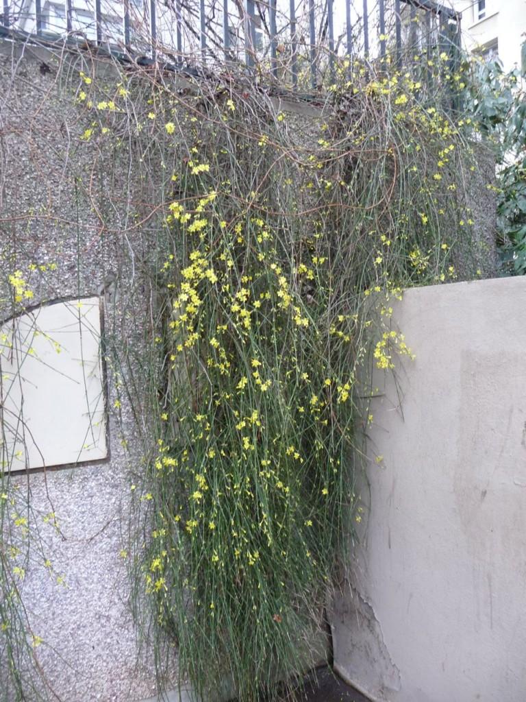 Arbuste à floraison hivernale dans Paris