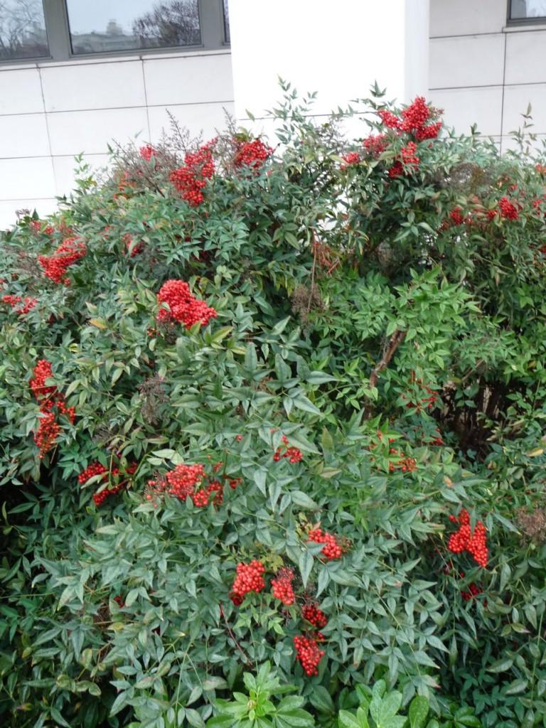 Arbuste à feuillage persistant et fruits décoratifs