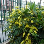Arbuste persistant à floraison hivernale