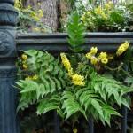 Arbustes persistants à floraison hivernale