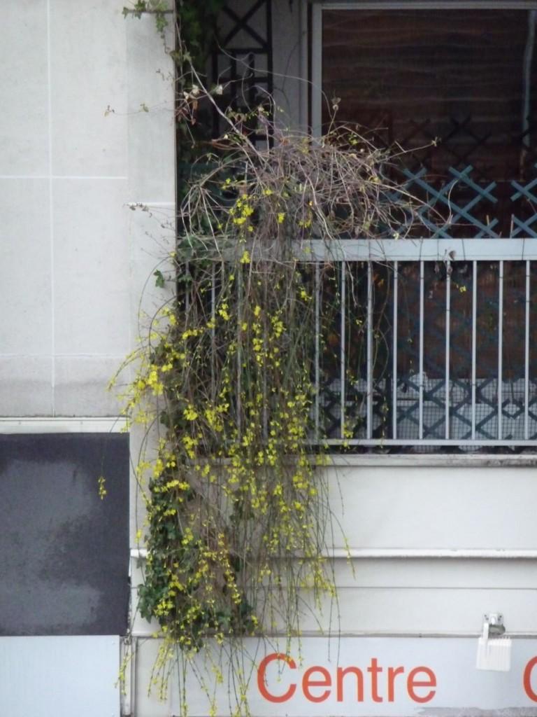 Arbuste à floraison hivernale sur balcon