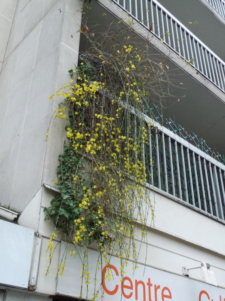Arbuste à floraison hivernale