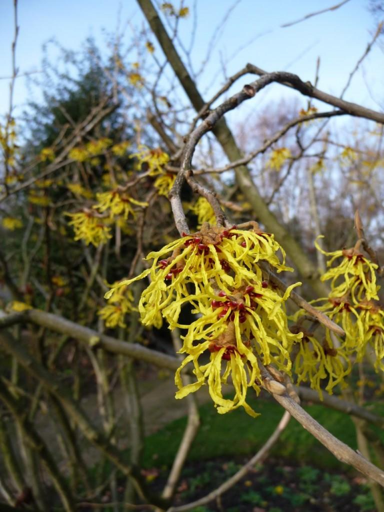 Hamamelis, arbuste à floraison hivernale parfumée