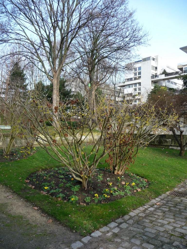 Arbuste à floraison hivernale parfumée