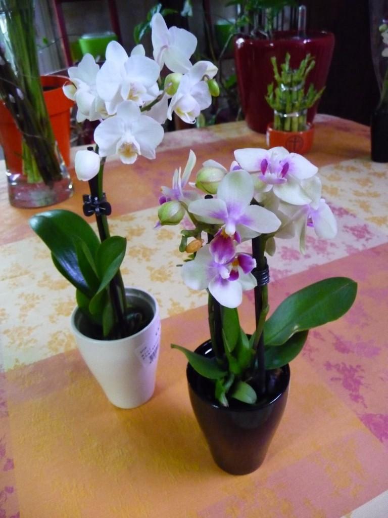 Orchidées miniatures : minis phalaenopsis
