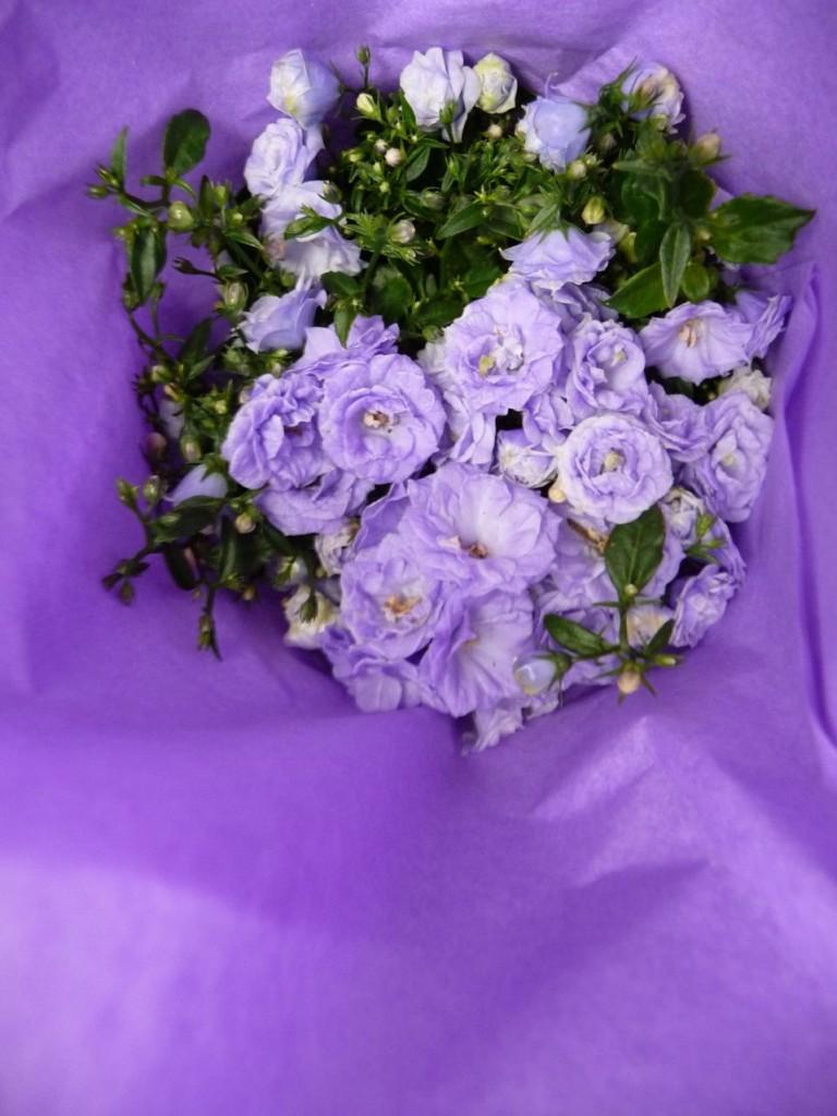 Campanule naine, potée fleurie