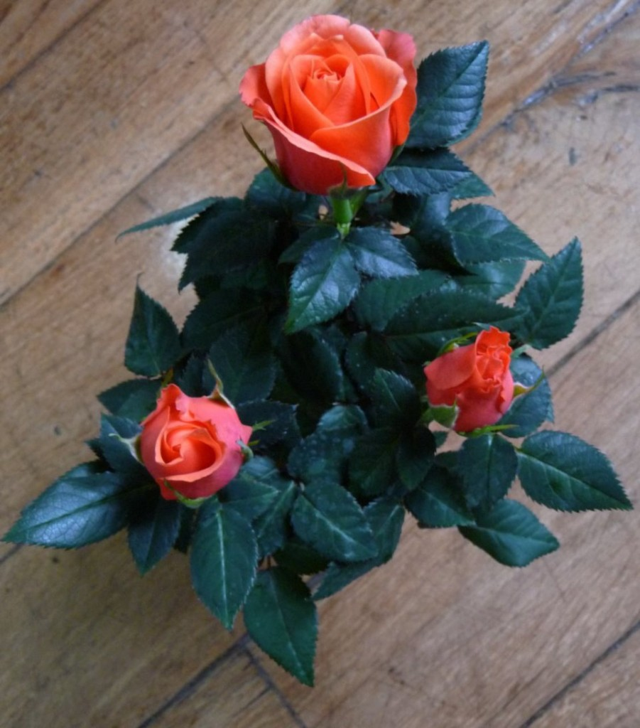 Mini rosier forcé, mini plante