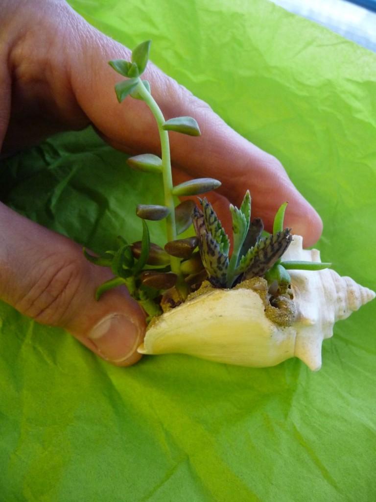 Mini plantes dans un petit coquillage