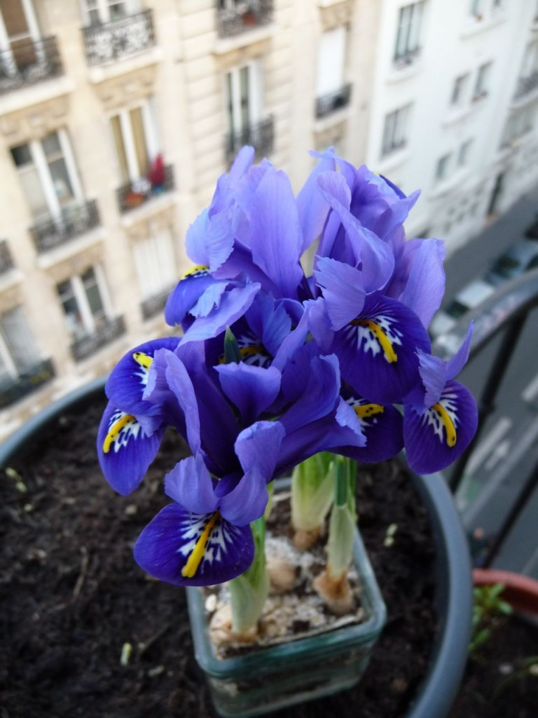 Bulbes à fleurs forcés : iris nains (Iris reticulata)