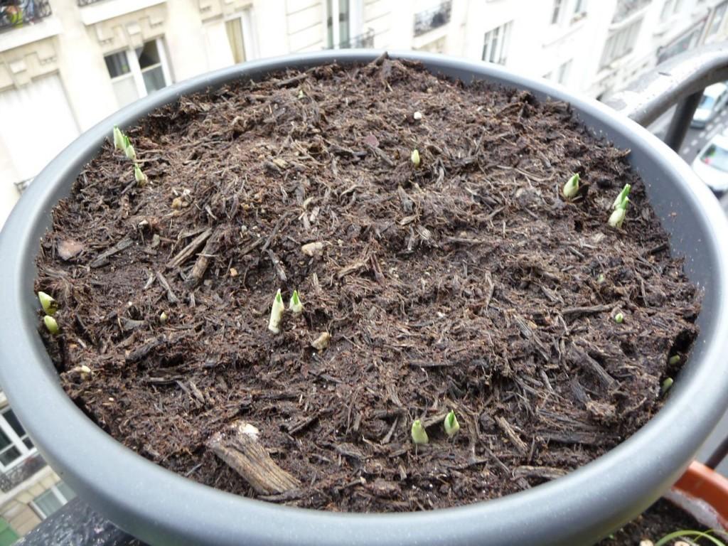 Départ de végétation pour les crocus sur mon balcon en plein hiver
