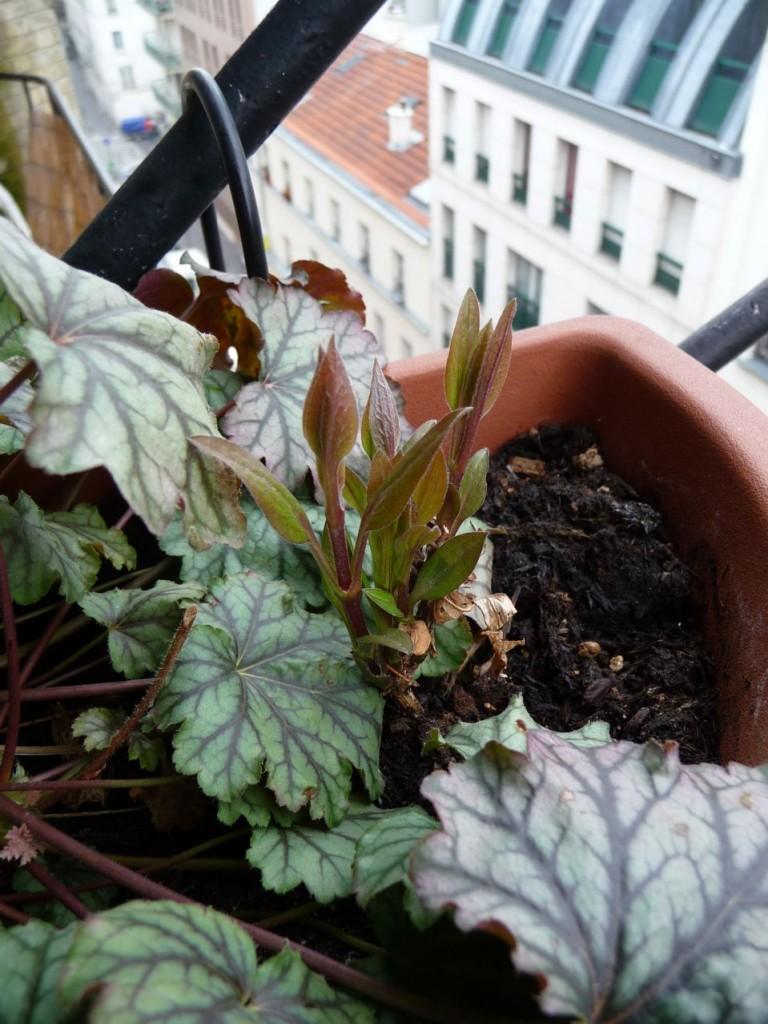 Départ de la végétation sur mon balcon en plein hiver suite au redoux