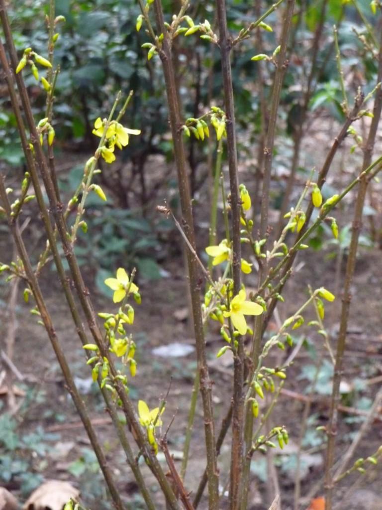L'hiver doux incite les arbustes à floraison printanière à fleurir en avance