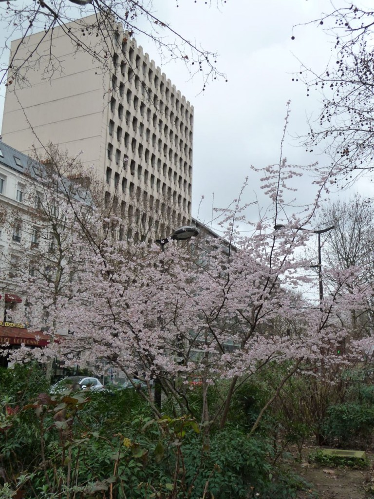 Cerisier d'hiver (Prunus subhirtella 'Autumnalis') dans l'avenue Jean Jaurès, Paris 19e (75), février 2011, photo Alain Delavie