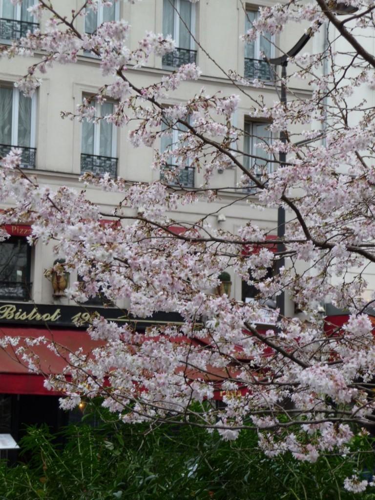 Prunus subhirtella 'Autumnalis' : cerisier du Japon ou cerisier d'hiver