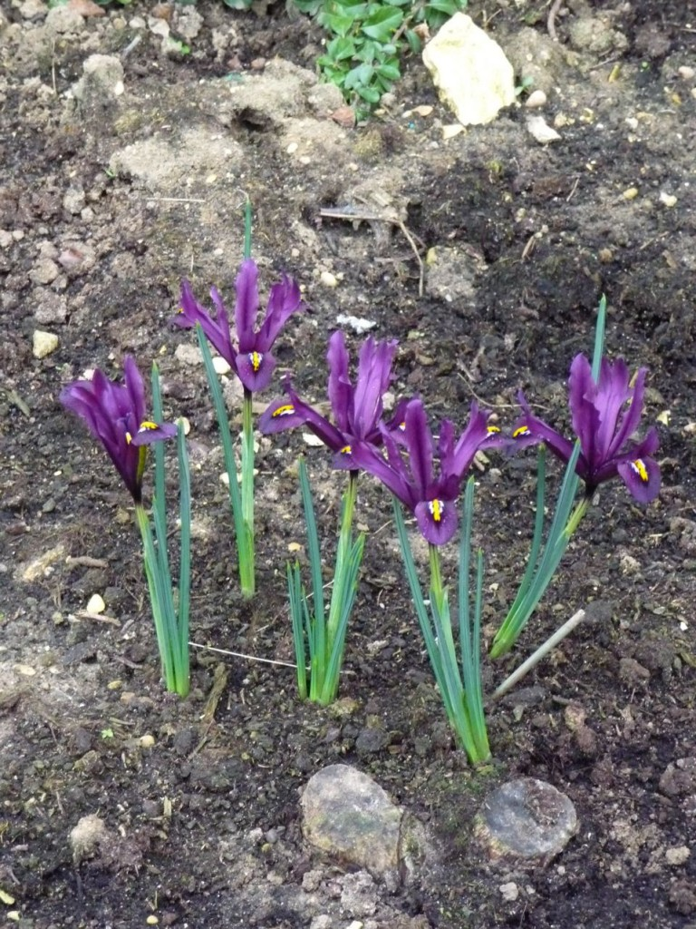 Plante bulbeuse à floraison hivernale : Iris reticulata