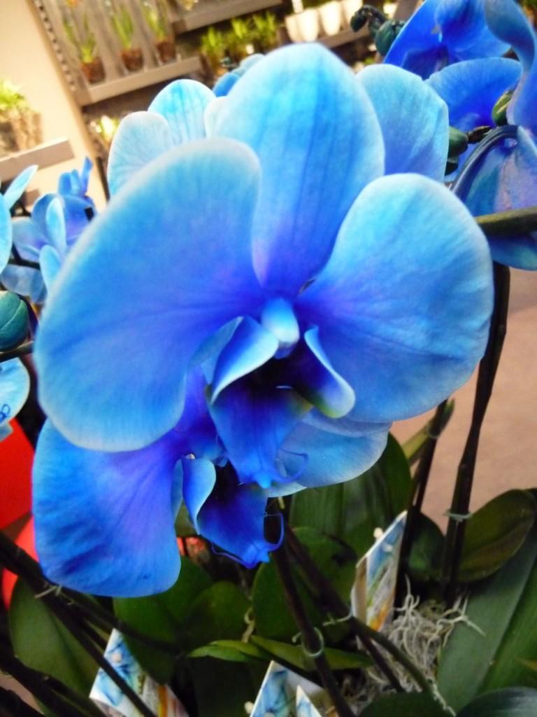 Orchidée à fleurs colorées artificiellement