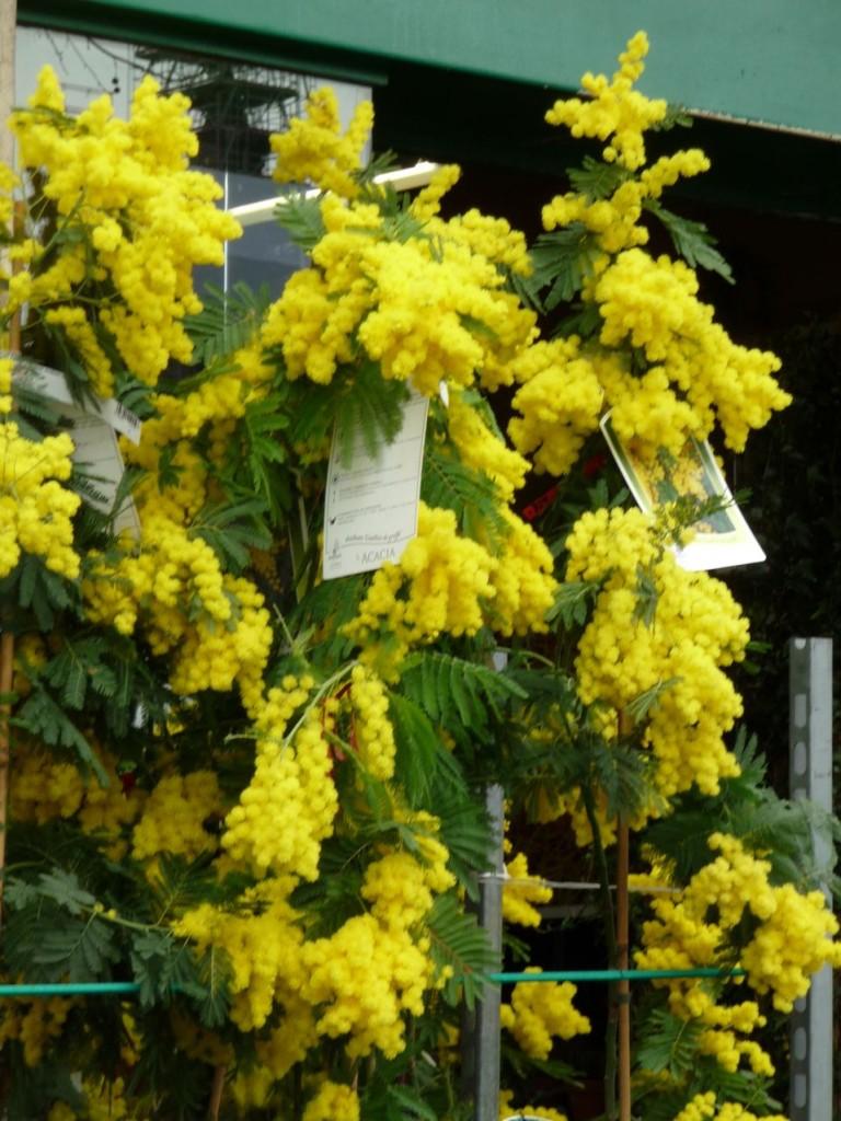 Arbre à floraison hivernale : Acacia dealbata