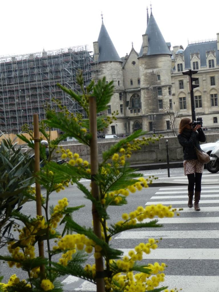 Arbuste à floraison hivernale : Acacia dealbata