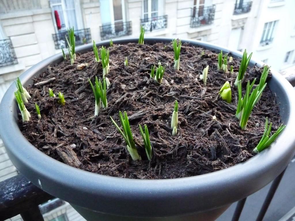 Crocus et jacinthes : bulbes à floraison printanière