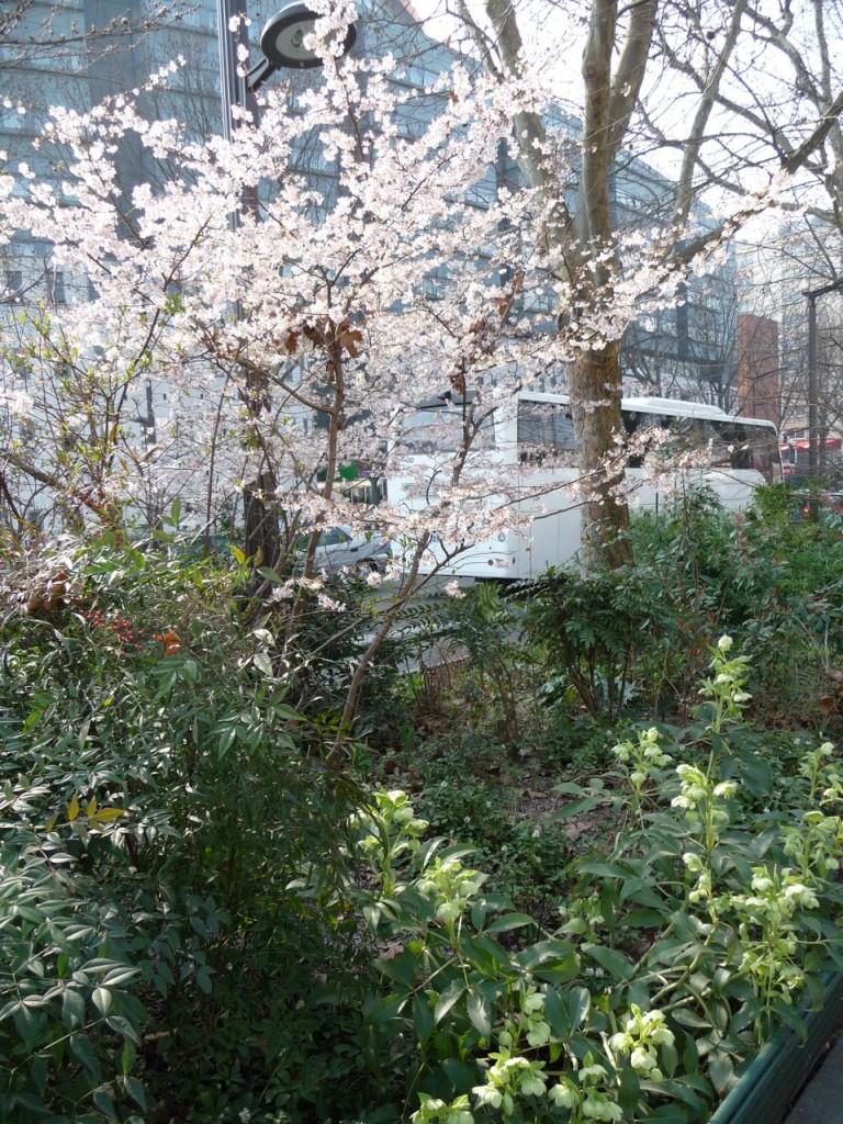 Floraisons en fin d'hiver dans Paris