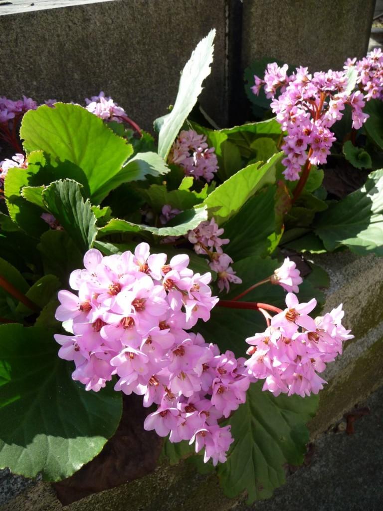 Plante vivace à floraison hivernale et printanière