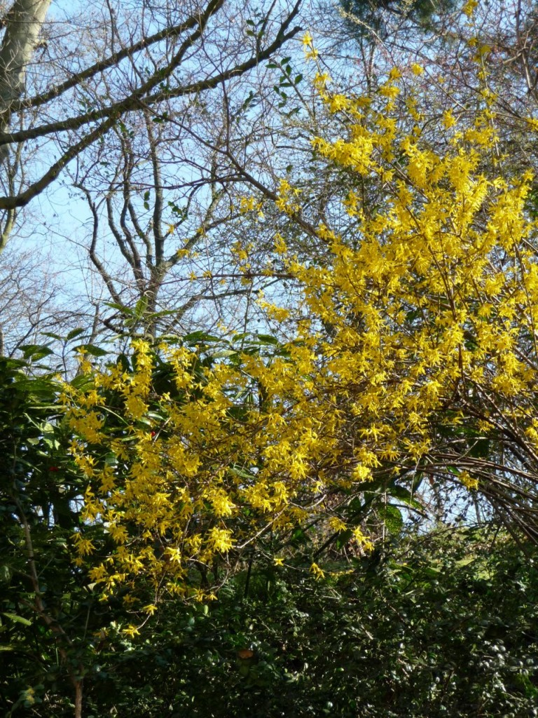 Arbuste à floraison hivernale et printanière précoce : forsythia