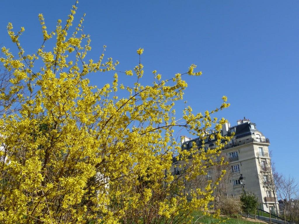 Arbuste à floraison hivernale et printanière : forsythia