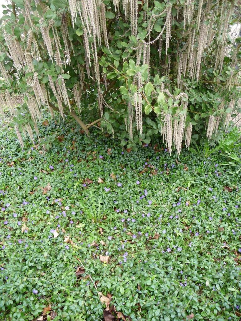 La petite pervenche, un joli couvre-sol » Paris côté jardin